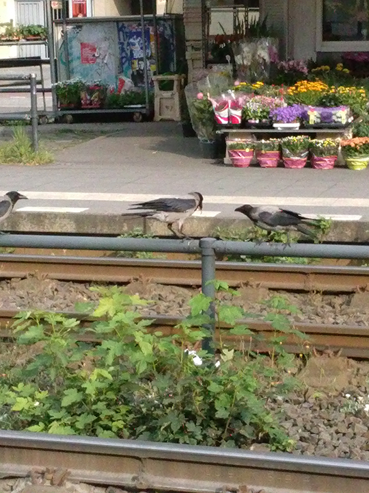 crows on train rail