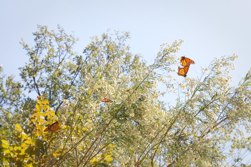 Monarchs-13