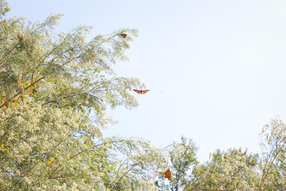 Monarchs-16