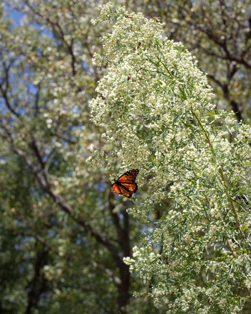Monarchs-4