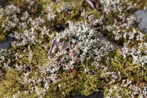 eyed foam lichen