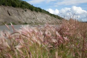 squirreltail barley