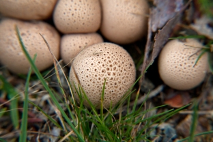 possibly poisonous pigskin puffball mushrooms