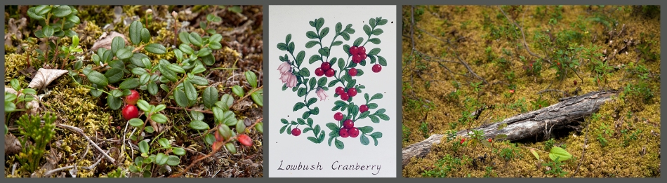 low bush cran collage2