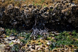 Barnacles and Black Seaweed